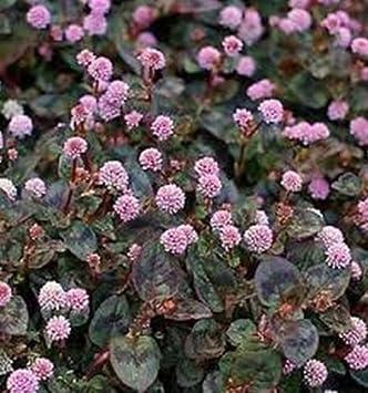 50 Polygonum Capitatum Seeds Pinkhead Smartweed Ground Cover Seeds