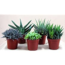 """Haworthia Collection 5 Plants - Easy to Grow/hard to Kill - 3"""" Pot From Jmbamboo"""