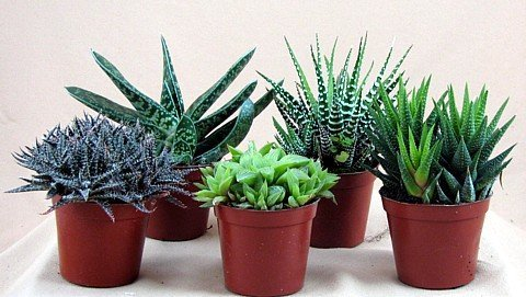 Indoor cactus plants for Small easy to grow plants