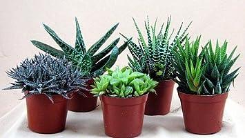 Amazoncom Haworthia Collection 5 Plants Easy to Growhard to