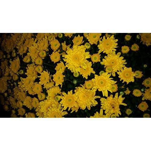"Top (8"" pot) (MUMS) ATLANTICO MUM-aka CHRYSANTHEMUM BELGIAN - Beautiful YELLOW blooms cover this plant in fall hot sale"