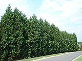Leyland Cypress Tree - Live Plant - 1-2 Feet Tall - Quart pot