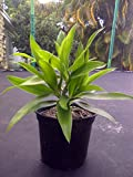 "Song of Jamaica (Dracaena reflexa pleomele), live rooted plant more than 8"" tall"