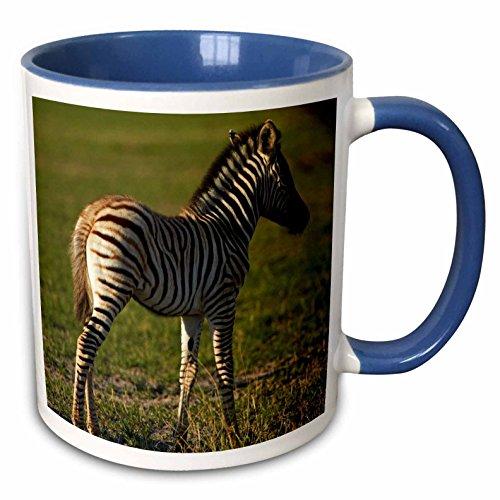 (3dRose Danita Delimont - David Wall - Zebra - Baby Burchells zebra, Equus quagga, Nxai Pan NP, Botswana, Africa - 15oz Two-Tone Blue Mug (mug_188079_11))