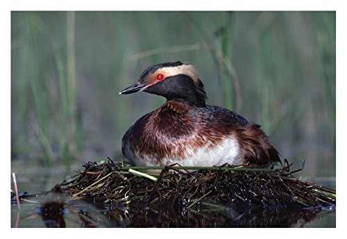 (Global Gallery Art on a Budget DP-396730-2030 Tim Fitzharris Horned Grebe Parent Incubating Eggs On Floating Nest North America Unframed Giclee on Paper Print, 20