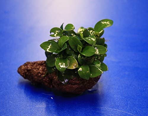 Petite Or Bonsai Small Lava Rock With Smallest Gnome Spear Blade Anubias On Lava Rock Amazon De Pet Supplies