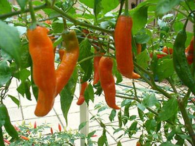 100 Seeds (Superior Quality) of Aji Amarillo hot Chili Pepper Big Bright Colored pods Peru Heirloom by Elava Premium