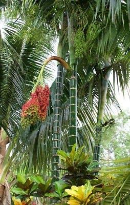 Dypsis pembana 5 Seedlings Palm Tree Live Tropical Rare