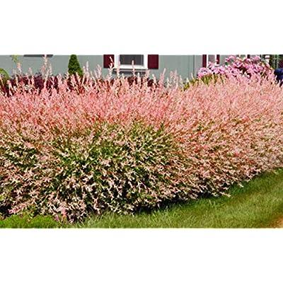Japanese Dappled Nishiki Willow Shrub/Tree Quart Pot Plant N1 : Garden & Outdoor