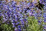 50 PCS PENSTEMON HETEROPHYLLUS SEEDS G36, BLUE SPRING Flowers Perennial