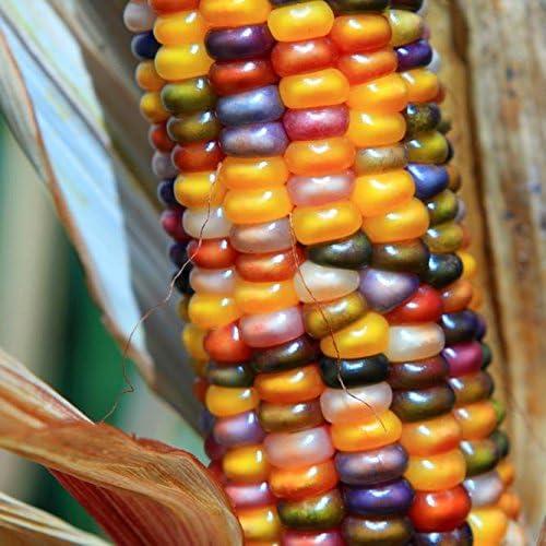 Amazon Com 20 Seeds Orange Glass Gem Corn Ornamental Edible Zea
