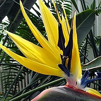 Amazon Bird Of Paradise Plant Collection One Each Yellow