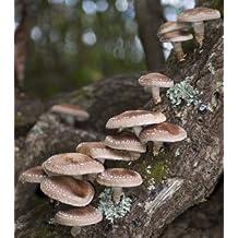 Shiitake Mushroom Mycelium Plug Spawn - 100 Count