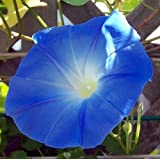 Hirt's Heavenly Blue Morning Glory - 1500 Seeds - UNTREATED/FRESH