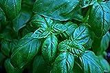 Nianyan 150 Sweet Basil Seeds - Genovese Ocimum Basilicum, Pesto Basil