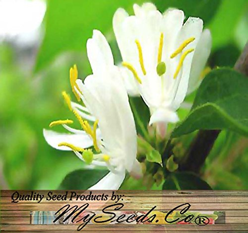 100 Fragrant Winter Honeysuckle Bush, Lonicera fragrantissima Seeds Hardy Z 4-9