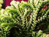 "Selaginella Kraussiana Variegatus Frosty Fern Moss 4"" Pot"