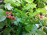 50 BLACK RASPBERRY Rubus Fruit Bush Vine Seeds