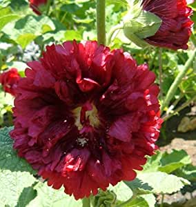 No. 17 Red Frilly Double Alcea Rosea Hollyhock 12 Flower Seeds Plus Additional Package