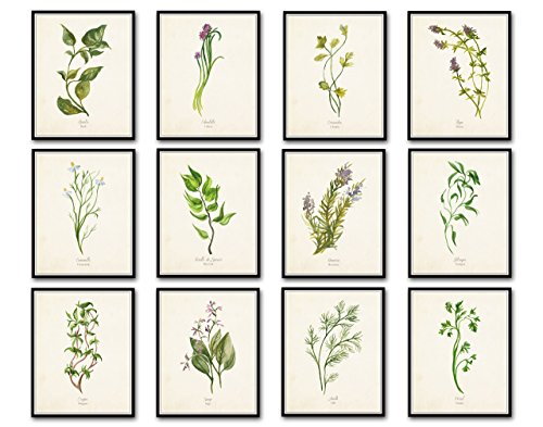 Watercolor Herbs Print Set 12 Giclee Fine Art Prints - Unframed by Belle Maison Art