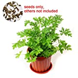 XKSIKjian's Garden 100Pcs Citronella Plant Seeds Mozzie Buster Mosquito Ornamental Plant Home Yard Office Decor Non-GMO Seeds Open Pollinated Seeds for Planting