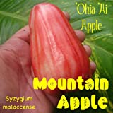 NEW RED Mountain Apple Fruit Tree Syzygium malaccense Ohi'a Ai Apple LIVE sml Plant