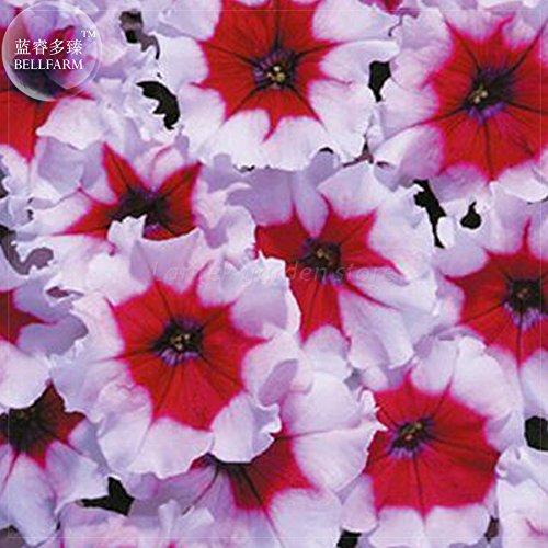 2018 Hot Sale Davitu Petunia Celebrity Burgundy Frost Annual Seeds, 200 Seeds, Professional Pack, Light Purple red Flowers E4185