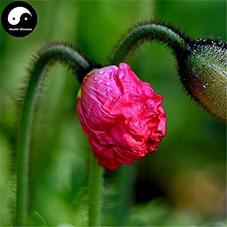 Amazon buy field poppy flower seeds 100pcs plant papaver buy field poppy flower seeds 100pcs plant papaver rhoeas flowers flanders poppy mightylinksfo