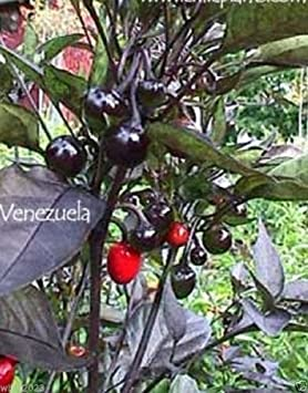 "Venezuela caliente - Semilla de pimiento, Capsicum annuum â € ""fuego medio, rara"