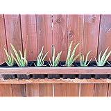 """4"""" Aloe Vera Medicinal Tropical Plant Live"""