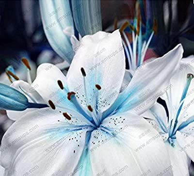 Mr.seeds A Package 50 pieces Lily Seeds Rare Lilium Brownii Bonsai Potted Garden plant Flower Seeds Blue Heart lily Seeds