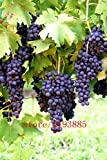 Bonsai Seeds Syrah Grapes Bonsai Miniature Grape Vine - Patio Syrah - Vitis Vinifera - Houseplant - 50 - Fruit Bonsai