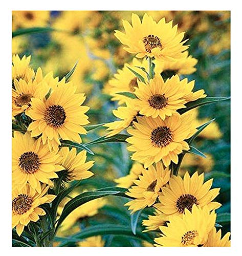 Maximillian Sunflower Seeds - Attracts Bees and Butterflies - Perennial Sunflower Native to North America, Approximtely 600 Seeds