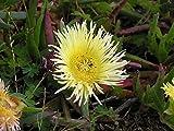3 Cuttings, Yellow Ice Plant 5'' Unrooted; Succulent; Carpobrotus edulis
