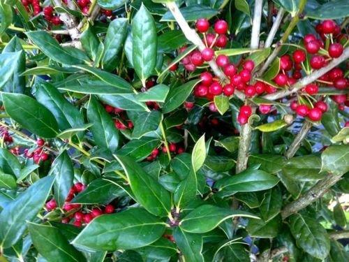 Ilex cornuta 'Needlepoint' Holly, TWENTY plants, evergreen