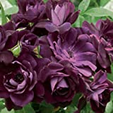 Burgundy Iceberg Rose Bush Floribunda Organic Grown Deep Reddish Purple Blooms - Potted Own Root Easy To Grow