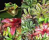 Bromeliad Terrarium Vivarium Wholesale Neoregelia 25 Pack 10 Plus Varieties
