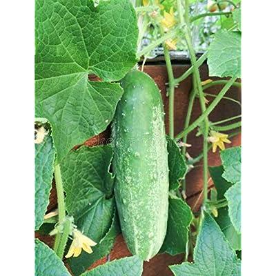 Cucumber Krish Seeds (avg 30-50) Seeds 4 : Garden & Outdoor