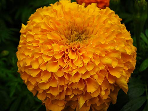 (Go Garden Marigold Seeds - African - Gold Coin Double Eagle - F1 Hybrid - 25 Seeds)