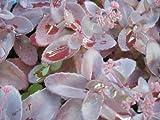 50 PURPLE CARPET SEDUM Spurium Coccineum Groundcover Flower Seeds *Comb S/H