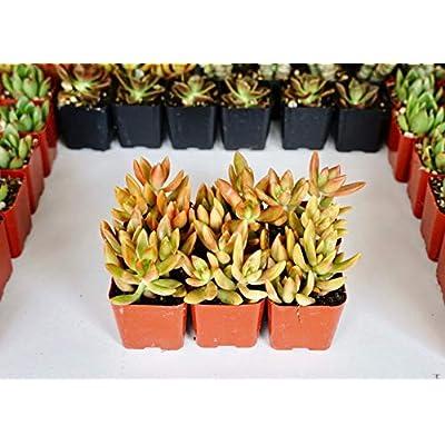 Sedum adolphii- 2 inch Potted Succulent -Live Succulent Plants : Garden & Outdoor