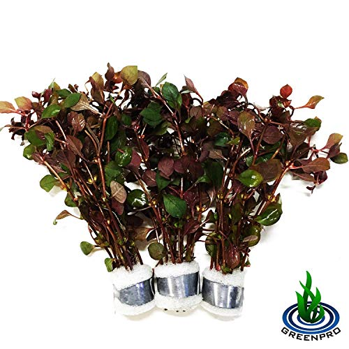 - Greenpro 3 Bundles Dark Red Ludwigia Repens Live Aquarium Plants Package Freshwater Fish Tank