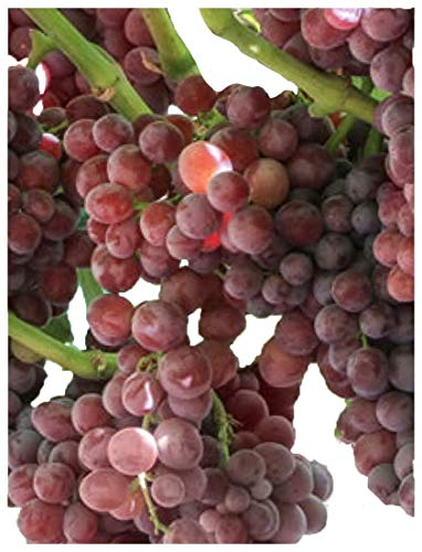 Homegrown Grape Seeds, 20 Seeds, Tickled Pink Grape Cold Hardy (Grape Seeds For Planting)