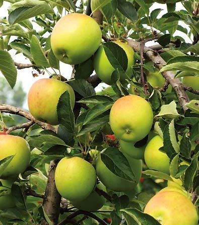 - (5 Gallon) DORSETT GOLD APPLE tree Golden Green color with a red and pink striped blush, a sweet flavor with lingering acidic notes.