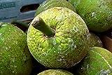 Nianyan BREADFRUIT Artocarpus camansi HAWAIIAN Canoe Plant 8 seeds