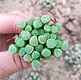 Live Succulent Lithops Cactus Pseudotruncatella Ornamental Potted Plant