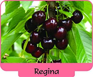 Delicious 3 pcs REGINA ,Sweet CHERRY Tree GRAFTED Live Rooted
