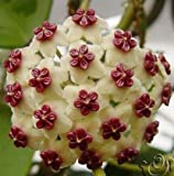 Mr.seeds hoya seeds, potted seed, hoya carnosa flower seed Garden plants, perennial planting - 100 seeds indoor plants