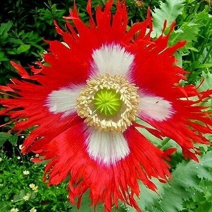 Amazon poppy seeds danish flag ounce bi colored red and poppy seeds danish flag ounce bi colored red and white flowers mightylinksfo