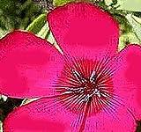 1 oz (9,500+) Scarlet Flax Seeds ~ Brilliant Deep Red - Linum grandiflorum rubrum - Heavy Blooms Flower Seeds - Annual Reseeding Flower (1 oz (9,500+) Scarlet Flax Seeds)
